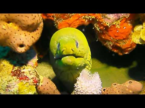 Camps Reef, St Kitts. Large Green Moray Eel.