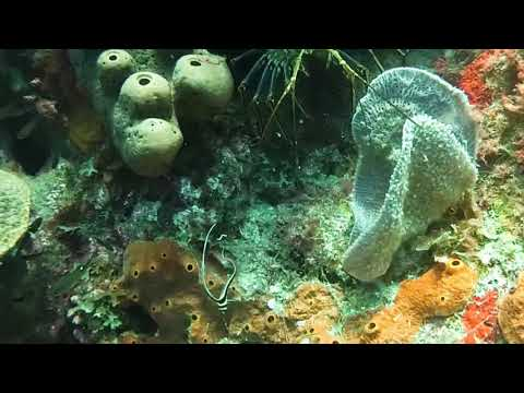 Spotted Drums – St Kitts Marine Life Series.(Subtitled)