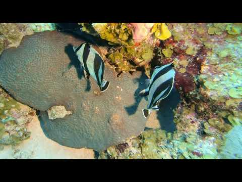 Banded Butterfly Fish – St Kitts Marine Life Series. (Subtitled)
