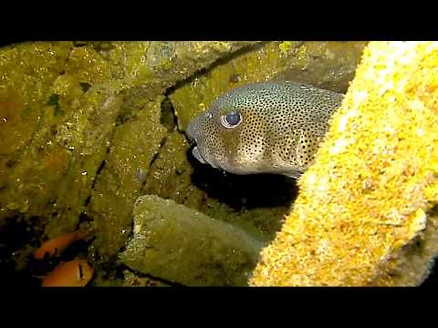Huge Pufferfish on the wreck of the Liamuiga St Kitts