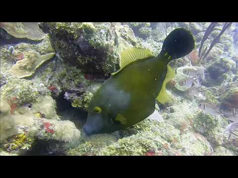 Green Filefish Marine Life Series. (Subtitled)